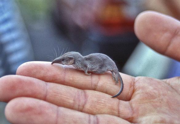 Những cái nhất của vương quốc chuột có thể bạn chưa biết - Ảnh 2.