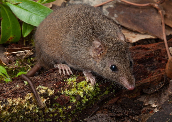 Những cái nhất của vương quốc chuột có thể bạn chưa biết - Ảnh 5.