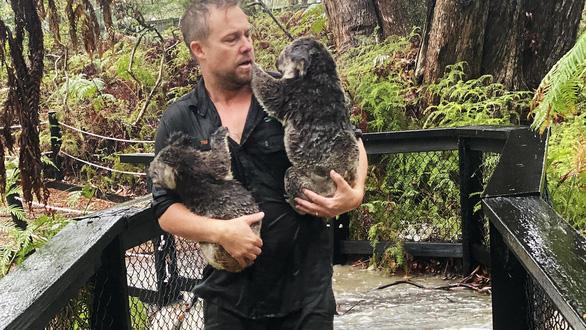 Hết chạy cháy rừng, koala lại phải chạy lũ - Ảnh 1.
