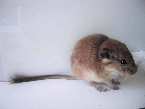 Những cái nhất của vương quốc chuột có thể bạn chưa biết - Ảnh 4.