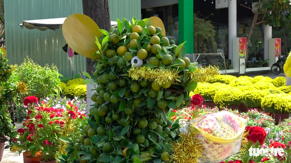 Quất bonsai tạo hình chuột đắt như tôm tươi - Ảnh 5.