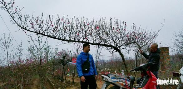 Đào Nhật Tân: Vào tận vườn chọn cành, ngã giá - Ảnh 6.