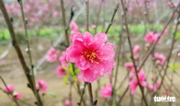 Đào Nhật Tân: Vào tận vườn chọn cành, ngã giá - Ảnh 10.