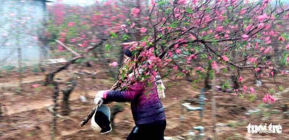 Đào Nhật Tân: Vào tận vườn chọn cành, ngã giá - Ảnh 1.