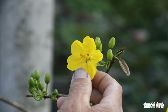 Lạ lẫm mai lá ngọc cành vàng, quảng hương mộc mai - Ảnh 5.