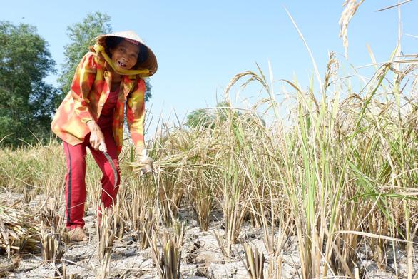 Gặt lúa giữa đồng trưa 27 tết, vợ chồng già cười tặng cả mùa xuân - Ảnh 2.