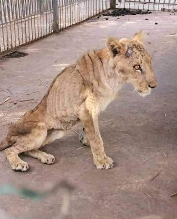 Chúa sơn lâm chỉ còn da bọc xương trong vườn thú châu Phi - Ảnh 1.
