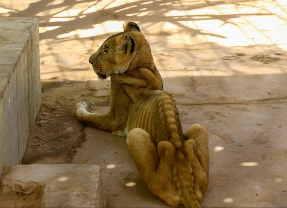 Chúa sơn lâm chỉ còn da bọc xương trong vườn thú châu Phi - Ảnh 2.
