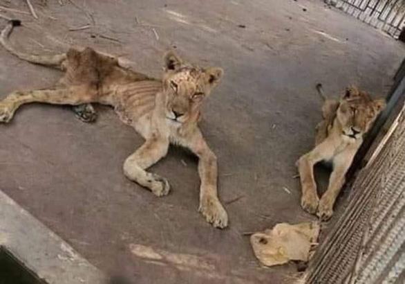 Chúa sơn lâm chỉ còn da bọc xương trong vườn thú châu Phi - Ảnh 3.