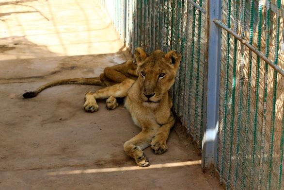 Chúa sơn lâm chỉ còn da bọc xương trong vườn thú châu Phi - Ảnh 4.