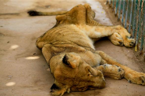 Chúa sơn lâm chỉ còn da bọc xương trong vườn thú châu Phi - Ảnh 5.