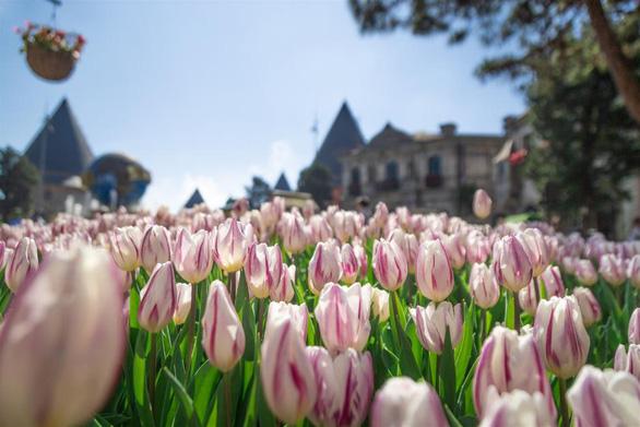 """Bắt trọn mùa hoa tulip đẹp """"rụng tim"""" ở Bà Nà Hills - Ảnh 1."""