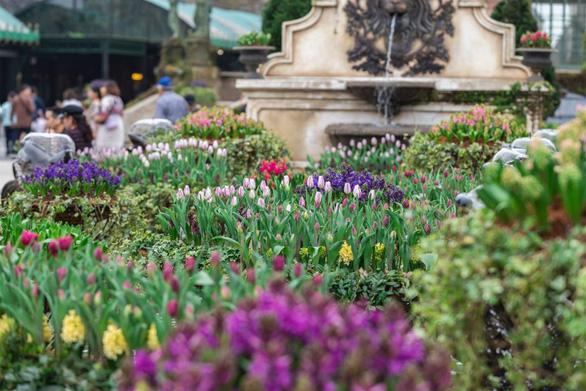 """Bắt trọn mùa hoa tulip đẹp """"rụng tim"""" ở Bà Nà Hills - Ảnh 3."""