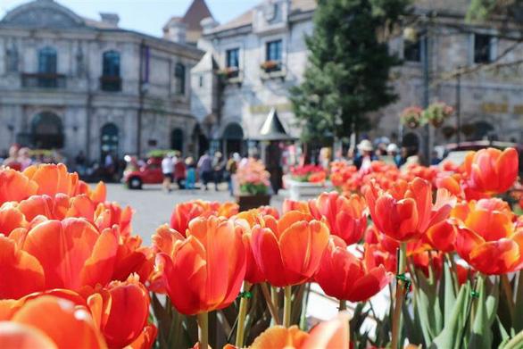 """Bắt trọn mùa hoa tulip đẹp """"rụng tim"""" ở Bà Nà Hills - Ảnh 5."""