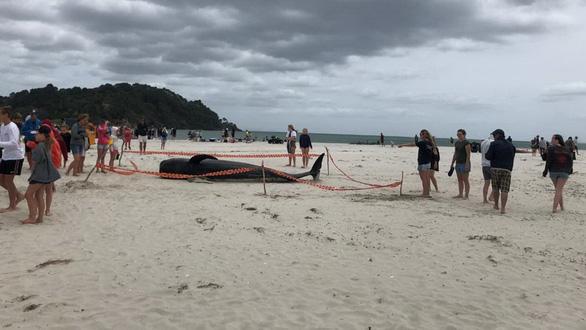 Cả ngàn người già trẻ, trai gái khẩn cấp cứu 11 cá voi mắc cạn - Ảnh 10.