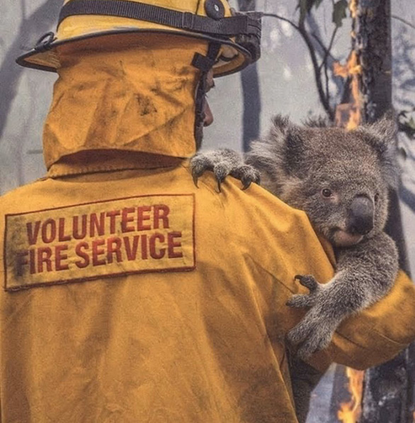 Thương đôi mắt koala buồn xa xăm trong cơn bão lửa nước Úc - Ảnh 1.