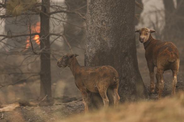 Thương đôi mắt koala buồn xa xăm trong cơn bão lửa nước Úc - Ảnh 4.