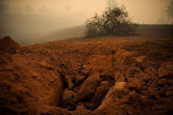Thương đôi mắt koala buồn xa xăm trong cơn bão lửa nước Úc - Ảnh 7.