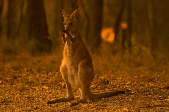 Thương đôi mắt koala buồn xa xăm trong cơn bão lửa nước Úc - Ảnh 8.