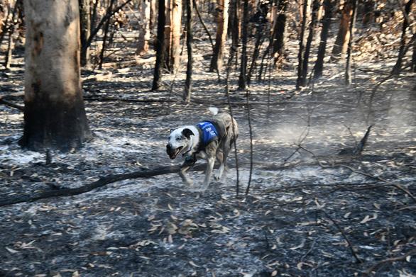 Chú chó dũng cảm giải cứu koala gặp nạn trong cháy rừng ở Úc - Ảnh 2.