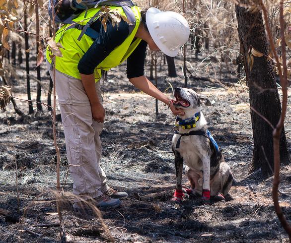Chú chó dũng cảm giải cứu koala gặp nạn trong cháy rừng ở Úc - Ảnh 3.