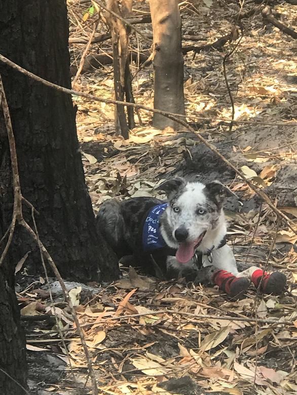 Chú chó dũng cảm giải cứu koala gặp nạn trong cháy rừng ở Úc - Ảnh 4.