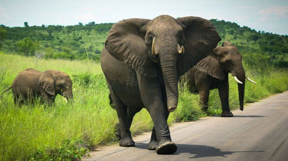 Chuyển nhà cả ngàn cây số cho voi - Ảnh 2.