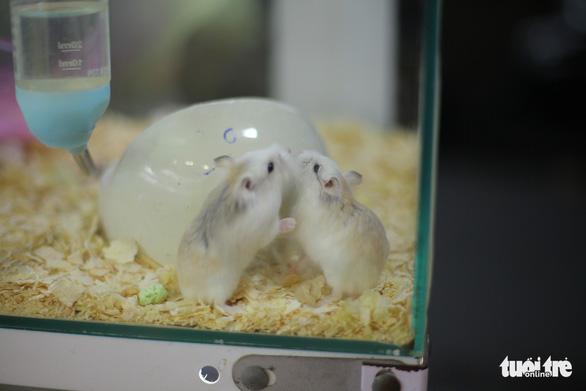 Trước Tết Canh Tý, thú cưng chuột hamster cháy hàng - Ảnh 6.