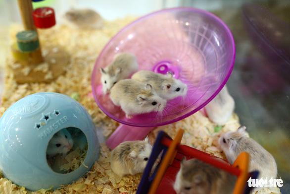 Trước Tết Canh Tý, thú cưng chuột hamster cháy hàng - Ảnh 2.