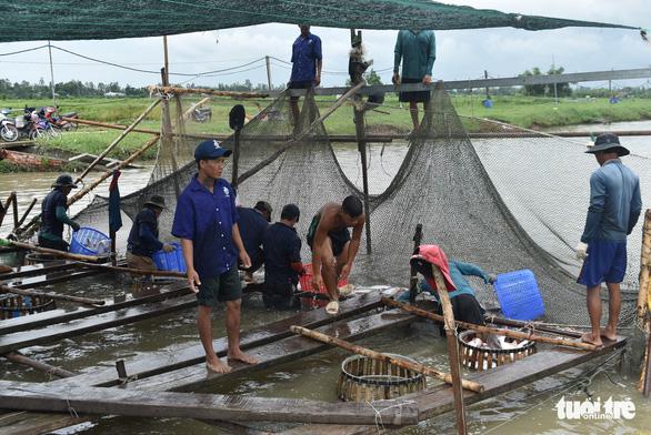 Sau nhiều tháng lao dốc, giá cá tra bắt đầu  'nhích' lên gần 23.000 đồng/kg - Ảnh 1.