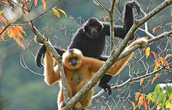 Chăng dây làm cầu để cứu loài vượn cực hiếm khỏi tuyệt chủng - Ảnh 3.