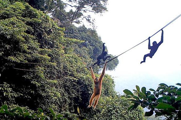 Chăng dây làm cầu để cứu loài vượn cực hiếm khỏi tuyệt chủng - Ảnh 1.