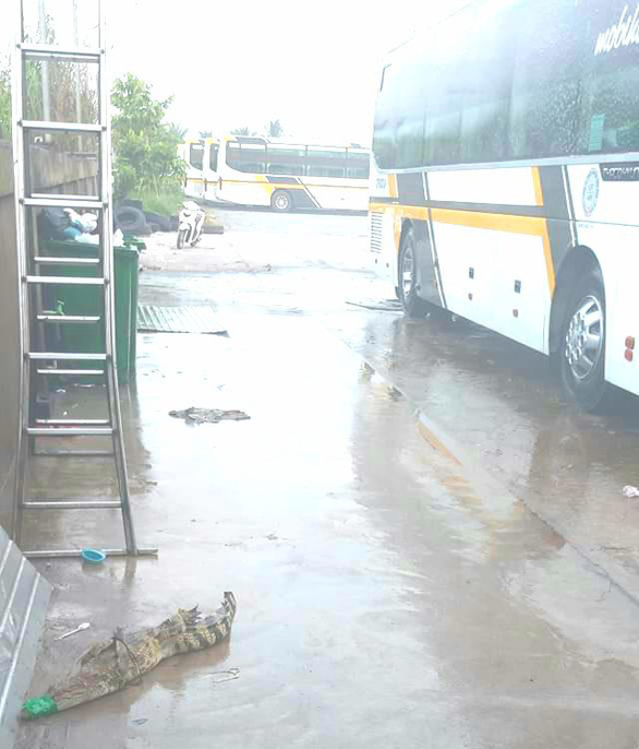 Cá sấu trại lớn nhất An Giang thoát cửa chính đi thăm... bến xe khách - Ảnh 1.