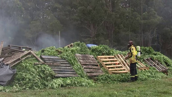 Úc bắt 14 người Việt, tịch thu hơn 13.000 cây cần sa - Ảnh 2.