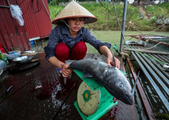 Thủy điện Hòa Bình xả lũ: Cá chết tăng thêm hàng chục tấn - Ảnh 1.