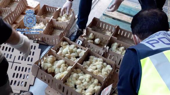 Hàng chục ngàn gà con bị bỏ rơi đến chết ở sân bay Tây Ban Nha - Ảnh 1.