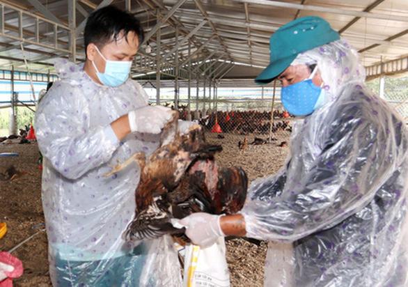 Long An xuất hiện dịch tả heo châu Phi và cúm gia cầm H5N1 - Ảnh 1.