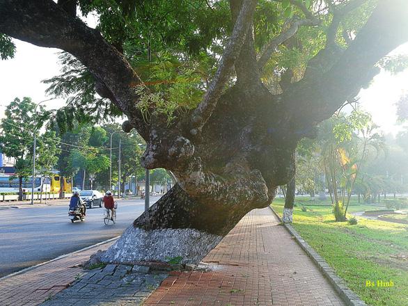 Tiếc nuối cây xà cừ hơn trăm tuổi ở Huế bị bão số 13 quật ngã - Ảnh 3.