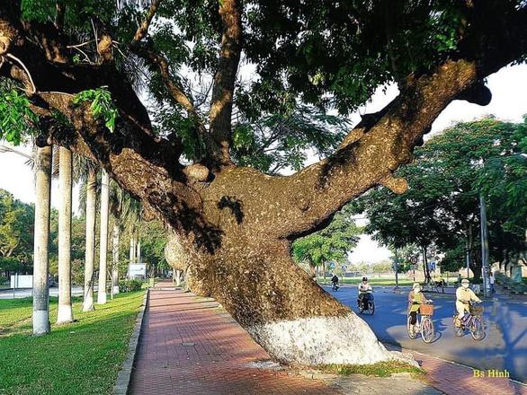 Tiếc nuối cây xà cừ hơn trăm tuổi ở Huế bị bão số 13 quật ngã - Ảnh 2.