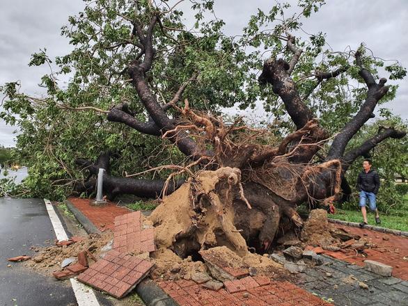 Tiếc nuối cây xà cừ hơn trăm tuổi ở Huế bị bão số 13 quật ngã - Ảnh 1.
