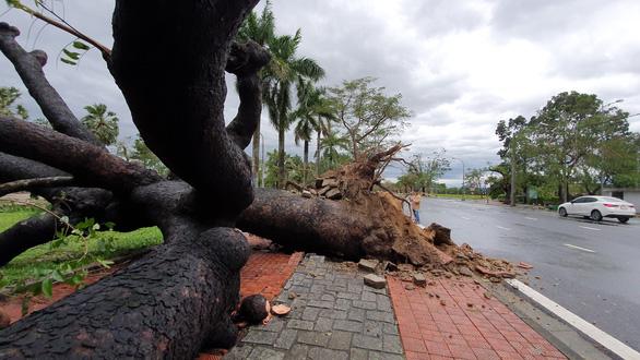 Tiếc nuối cây xà cừ hơn trăm tuổi ở Huế bị bão số 13 quật ngã - Ảnh 4.
