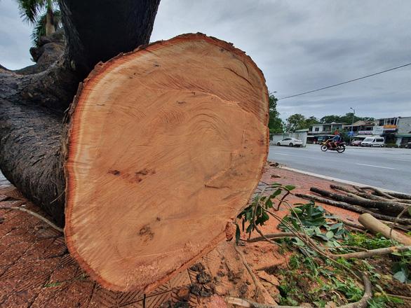 Tiếc nuối cây xà cừ hơn trăm tuổi ở Huế bị bão số 13 quật ngã - Ảnh 5.