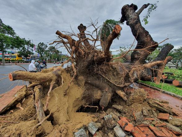 Tiếc nuối cây xà cừ hơn trăm tuổi ở Huế bị bão số 13 quật ngã - Ảnh 6.