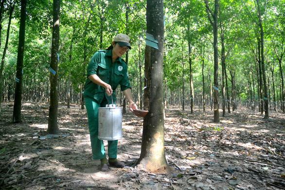 Cây cao su được tính vào tỉ lệ che phủ rừng không? - Ảnh 1.