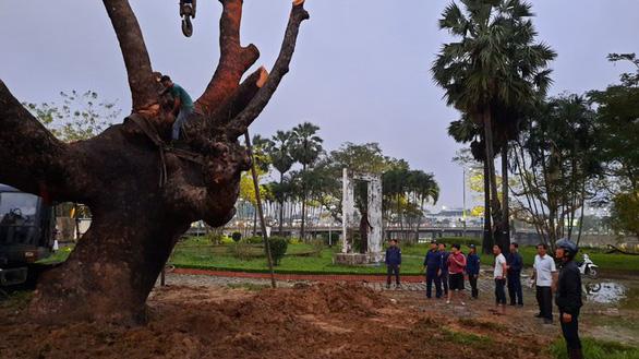 Người dân Huế vui mừng với cây xà cừ cổ thụ bị bão quật ngã được trồng lại - Ảnh 2.