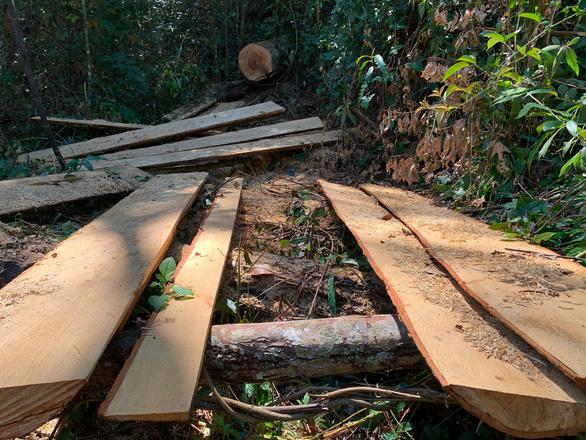 Lâm Đồng chỉ đạo khẩn xử lý vụ đốn hạ bạch tùng trong rừng nguyên sinh - Ảnh 2.