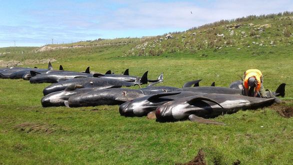 Hơn 120 con cá voi, cá heo chết do mắc cạn - Ảnh 5.