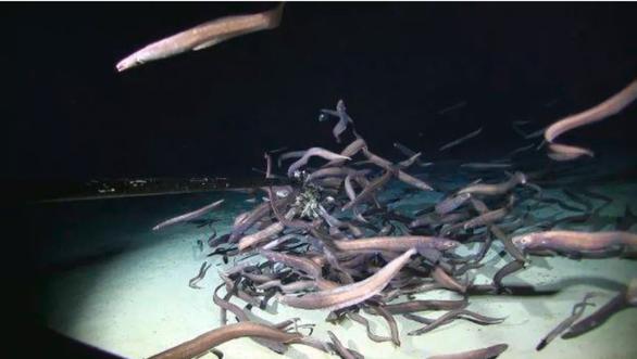Đàn cá chình hơn trăm con ăn mồi dưới đáy sâu 3.000m - Ảnh 1.