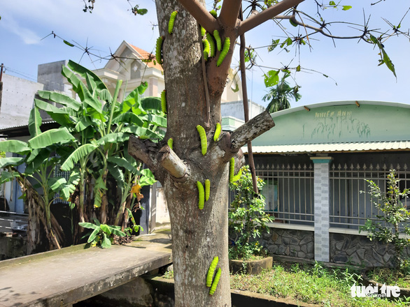 Sâu lạ ăn lá bàng ở Tiền Giang là loại sâu có giá trị trong sản xuất tơ lụa - Ảnh 5.