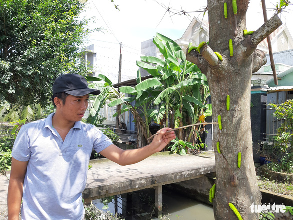 Sâu lạ ăn lá bàng ở Tiền Giang là loại sâu có giá trị trong sản xuất tơ lụa - Ảnh 2.